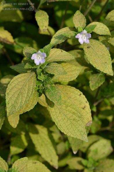 紫云菜属 strobilanthes