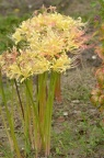 稻草石蒜 Lycoris straminea