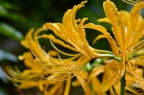 中国石蒜 Lycoris chinensis