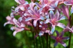 换锦花 Lycoris sprengeri