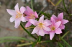 韭莲 / 韭兰 Zephyranthes carinata