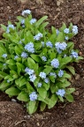 勿忘草 Forget-me-not Myosotis alpestris