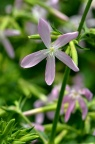 肥皂草 Saponaria officinalis