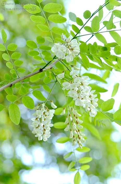 刺槐树叶结构图片