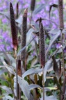 '紫威' 御谷 Pennisetum glaucum 'purple Majesty'