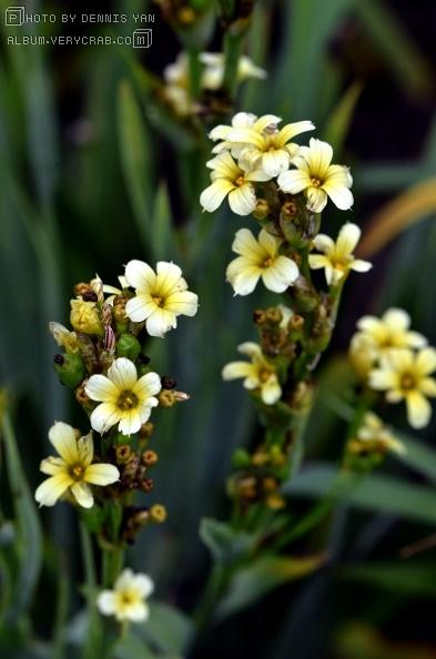 智利豚鼻花 sisyrinchium striatum