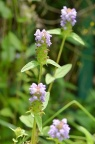 夏枯草 Prunella vulgaris