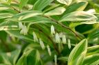 花叶的 多花黄精 Polygonatum cyrtonema 吧