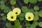 水金英 Hydrocleys nymphoides
