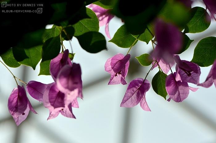 光叶子花 / 三角梅 bougainvillea glabra | 老丹的图片