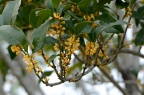 金桂 Osmanthus fragrans subsp.