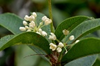 木犀 / 桂花 Osmanthus fragrans