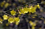 迎春花 Jasminum nudiflorum