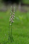 绶草 Spiranthes sinensis