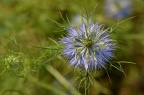 黑种草 Nigella damascena