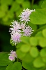 华东唐松草 Thalictrum fortunei