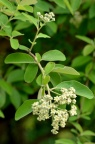 牛筋条 Dichotomanthes tristaniicarpa