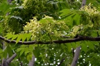 "臭椿 Ailanthus altissima,""Tree of Heaven"""